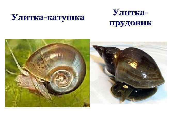 Улитка хелена — нюансы содержания хищного моллюска