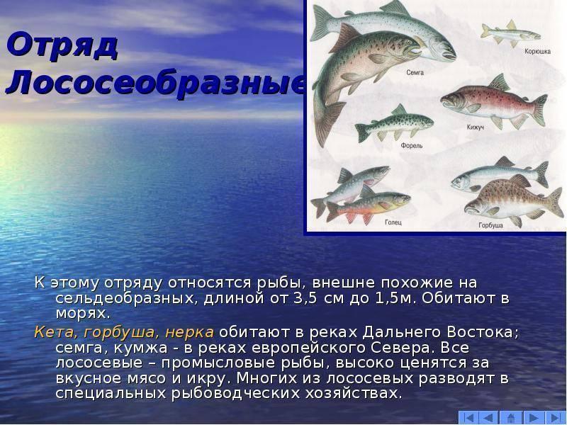 Рыбы тресковых пород: перечень названий, места обитания, список видов, фото