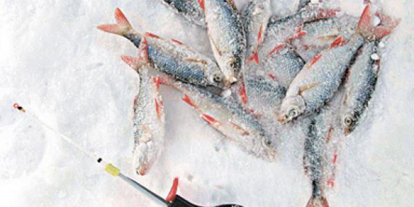 Ловля красноперки зимой на мормышку: видео, особенности и техника, выбор наживок