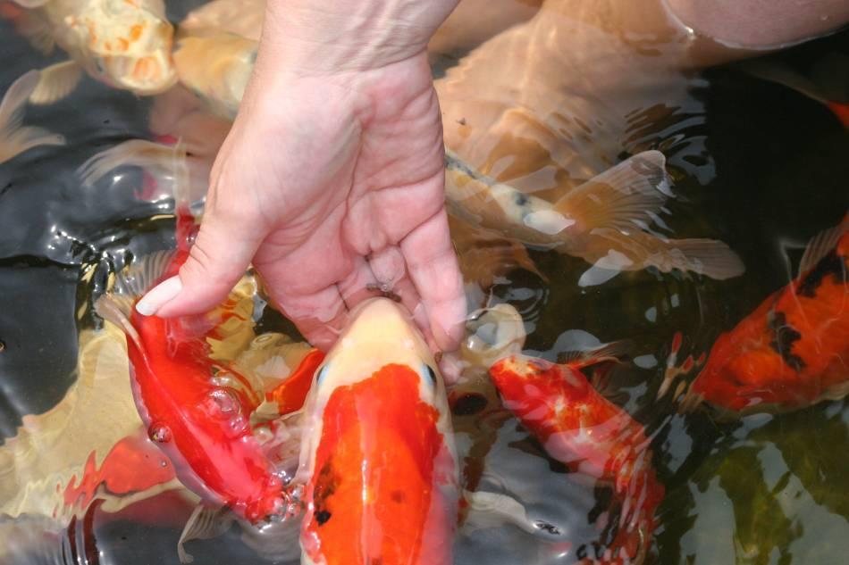 Какую рыбу лучше разводить в пруду и как это сделать