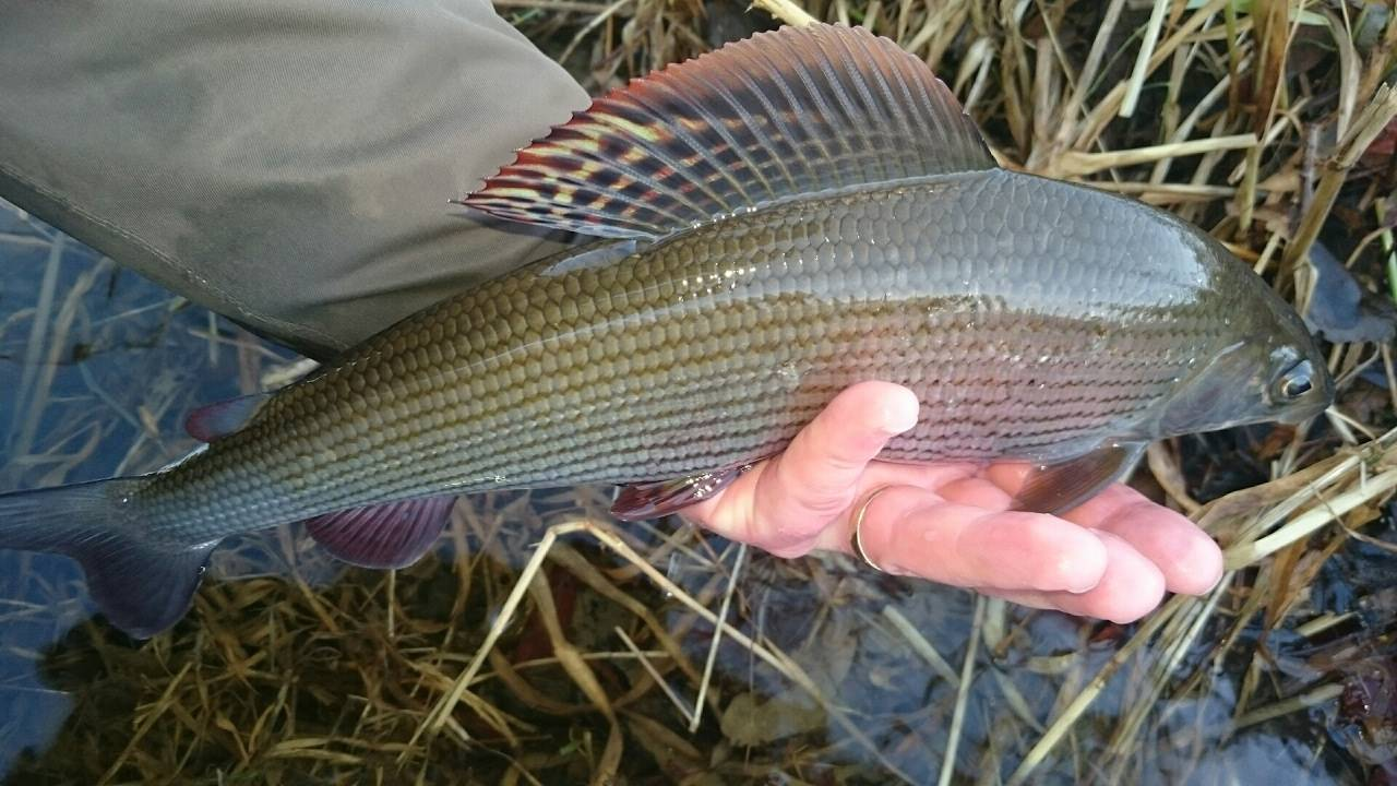 Рыба хариус: фото как выглядит, где и как ловить