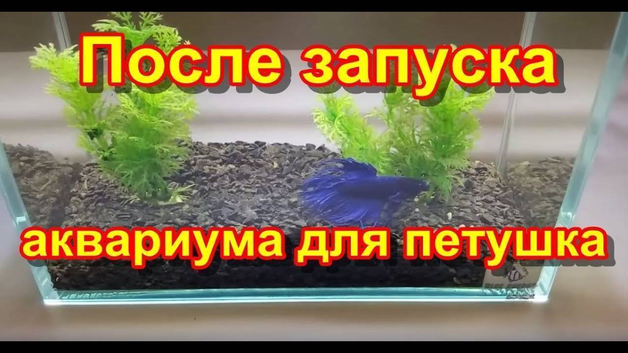 Бойцовая рыбка петушок — уход , аквариум для петушка , с кем уживается петушок