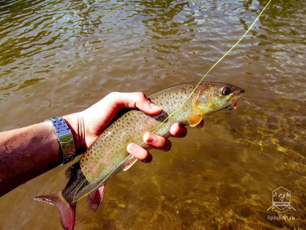 Рыбалка на ангаре: видео ловли на реке, рыбалка на хариуса и ленка, зимой, весной