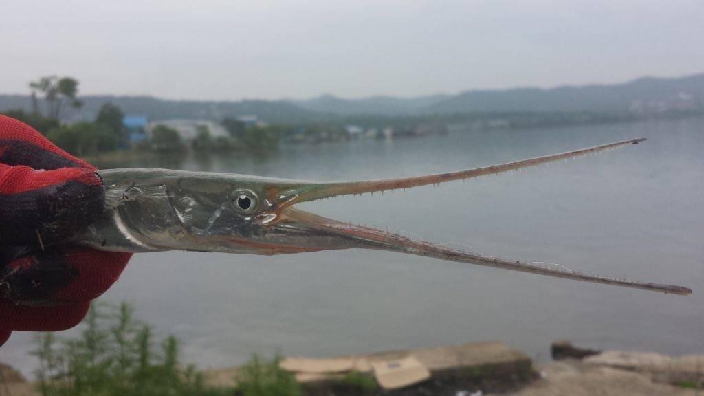 Рыба сарган: 95 фото и видео советы как поймать, на что и где обычно водится эта рыба