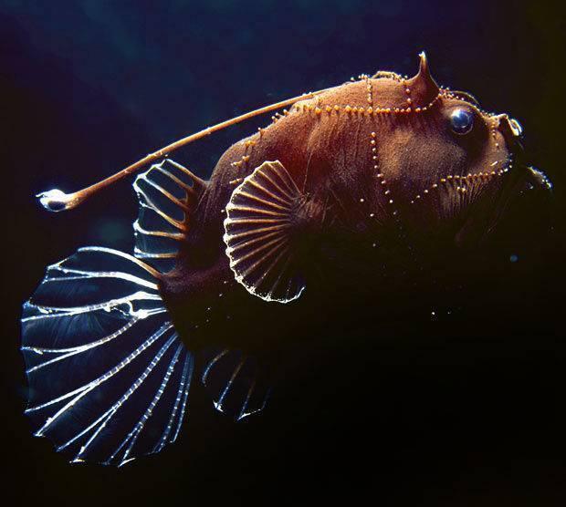 «морской чёрт»: жизненный цикл рыбы глубоководный удильщик