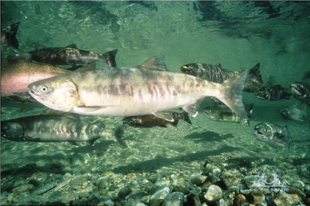Рыба кета: состав, полезные свойства и рецепты