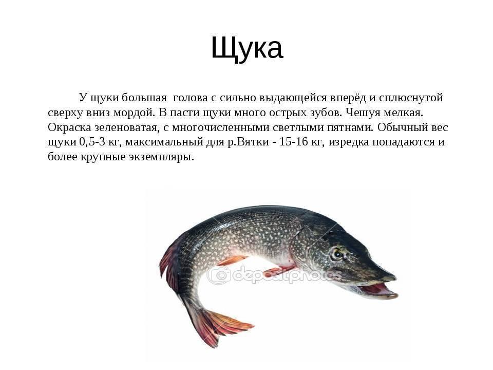 Обыкновенная щука: как выглядит рыба, где обитает и чем питается