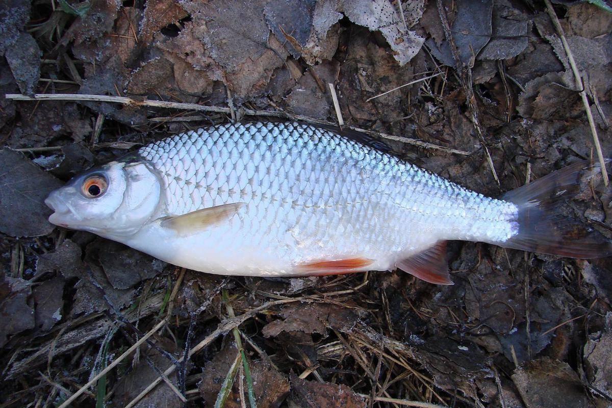 Ловля чебака летом, весной и осенью; снасти, наживки, места - рыбколов!