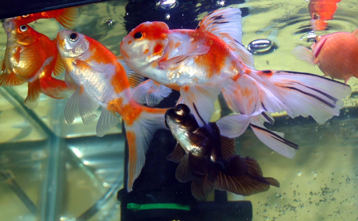 Рыбка телескоп: содержание, кормление и совместимость рыбки в аквариуме