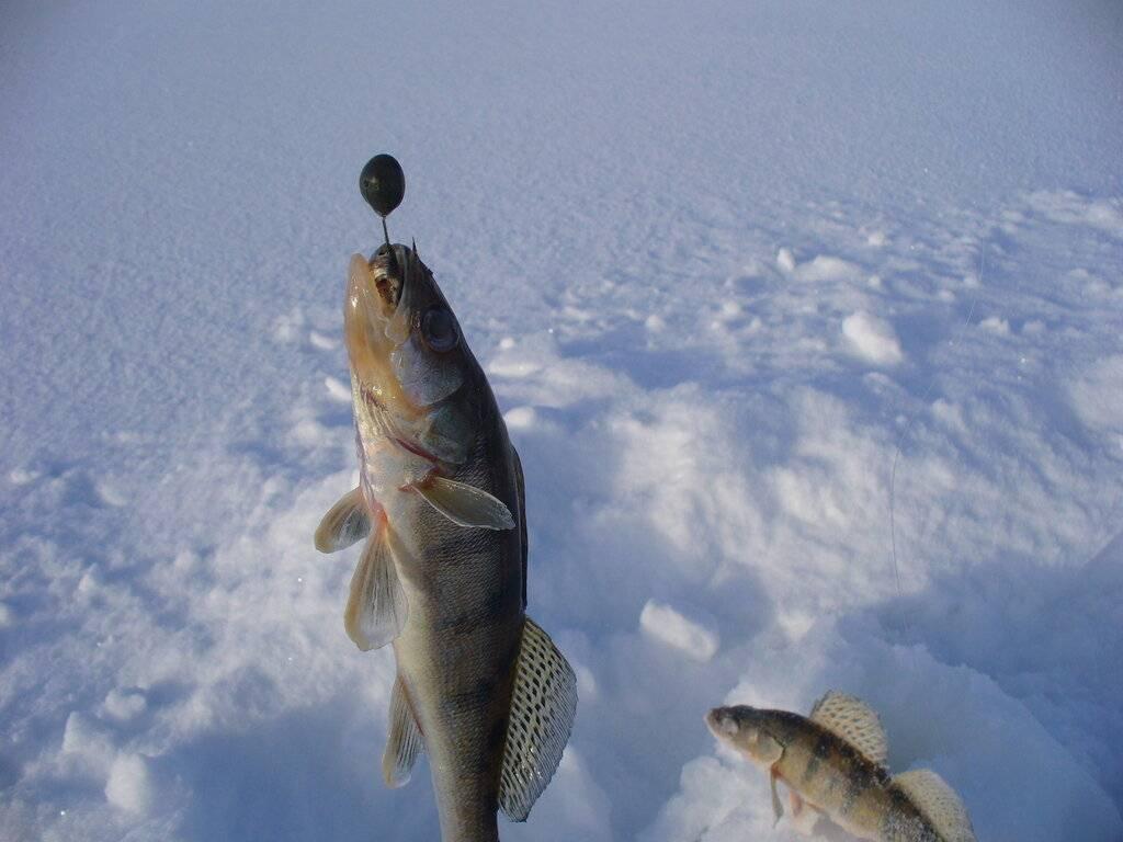 Ловля берша зимой на тюльку с разными приманками