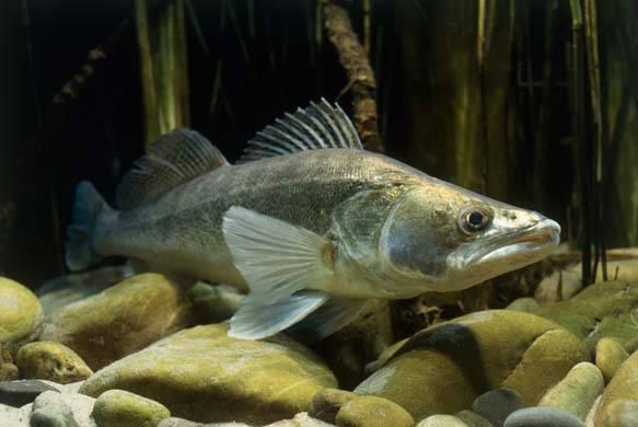 Рыбалка на судака: особенности этой рыбы, тактика ловли