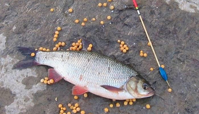 Ловля рыбы на опарыша