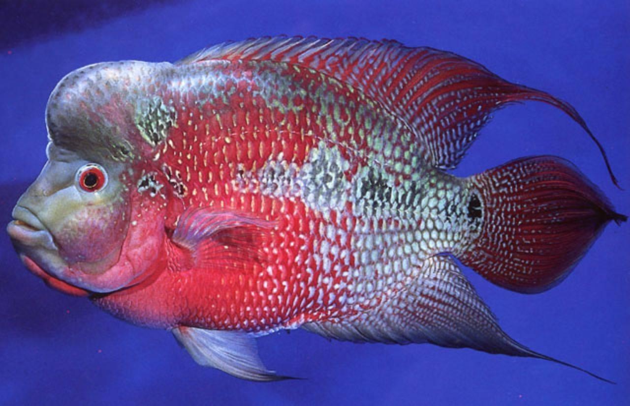 Мой любимец - фловер хорн - статьи об обитателях аквариума - статьи