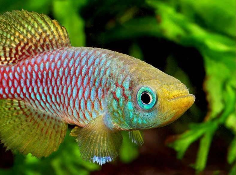 Оранда: содержание рыбки, совместимость, разведение, фото