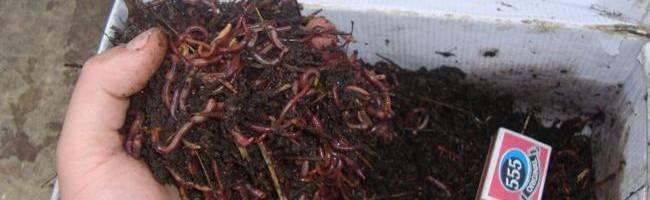 Как разводить червей в домашних условиях – подробный мануал