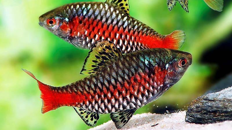 Барбус вишневый: содержание, кормление и совместимость рыбки в аквариуме