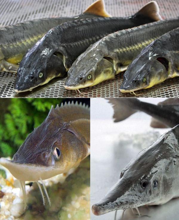 Стерлядь: рыба стерлядь фото, нерест, способы ловли, образ жизни, приманки, как чистить стерлядь