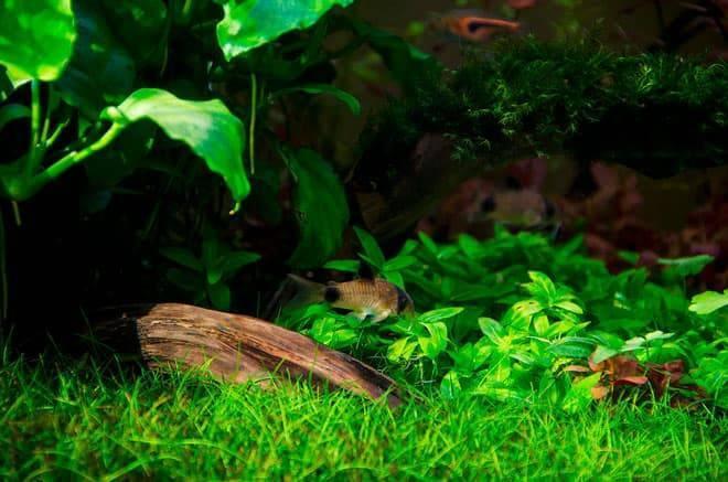 Коридорас рыба. описание, особенности, уход и цена рыбы коридорас | животный мир
