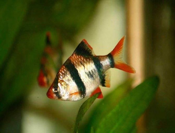 Барбус мшистый (мутант): содержание, как отличить самку от самца, совместимость с другими рыбками, а также правила размножения фото этого вида
