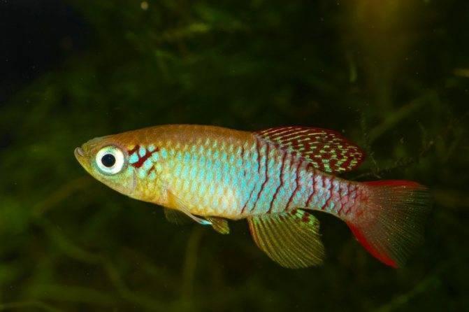 Нанностомус рыбка. описание, особенности, виды и уход за нанностомусом