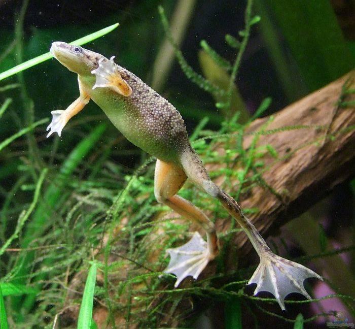 Лягушки в аквариуме: виды, правила содержания и ухода