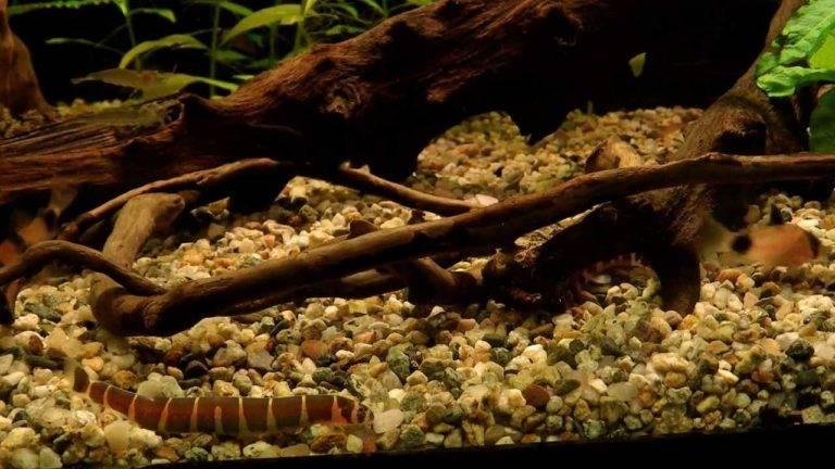 ᐉ рыба змея или калабарский каламоихт: описание, условия содержания в аквариуме, совместимость с другими рыбками - kcc-zoo.ru