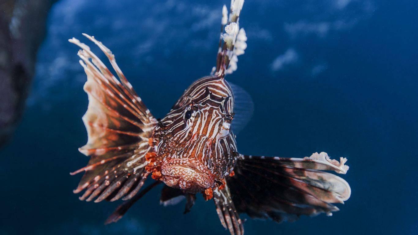 Опасная красота рыбы льва pterois volitans