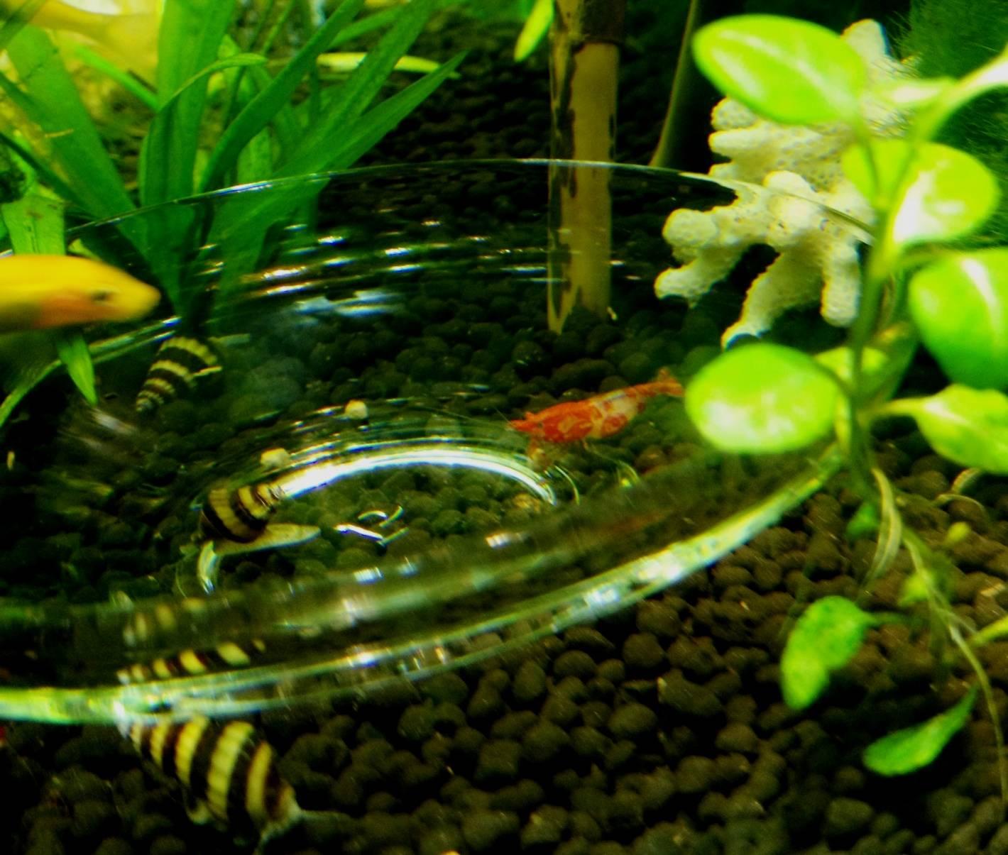 Креветка вишня (red cherry shrimp) крупным планом