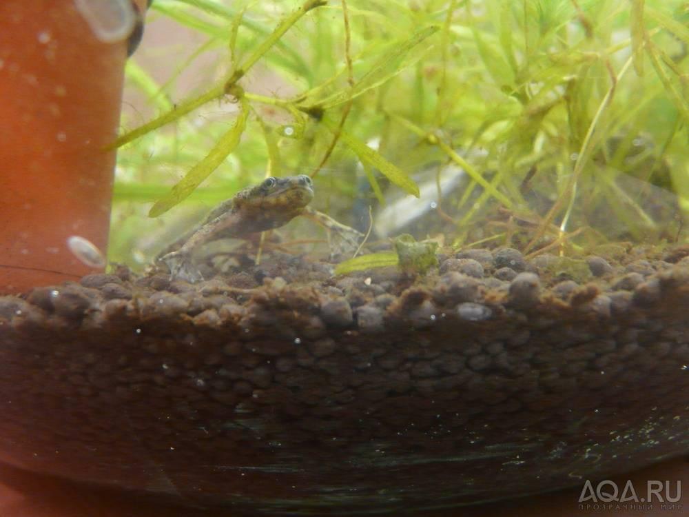 Аквариумные лягушки – виды и содержание в аквариуме