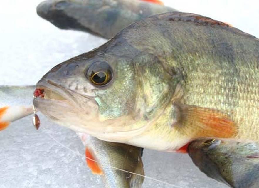 Мормышка на окуня в глухозимье. виды и использование. • мега рыбак