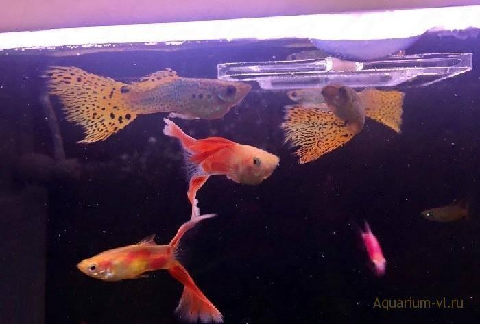 Гуппи рыбка: виды, уход, содержание, размножение,фото