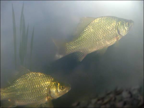 Ловись рыбка большая и маленькая: что такое байкальский омуль и с чем его едят
