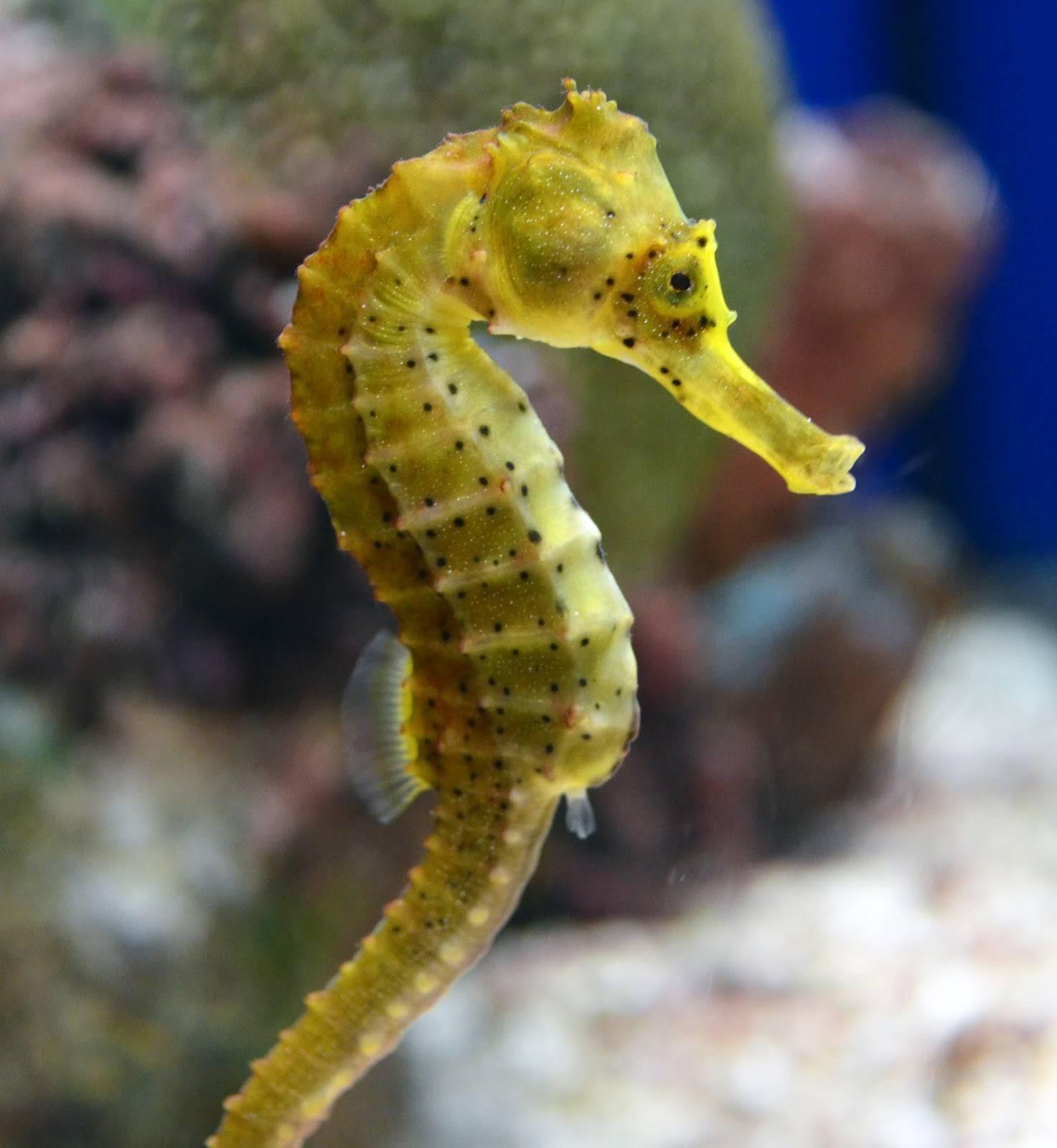Морской конек: описание и содержание в аквариуме, размножение, чем питается, фото