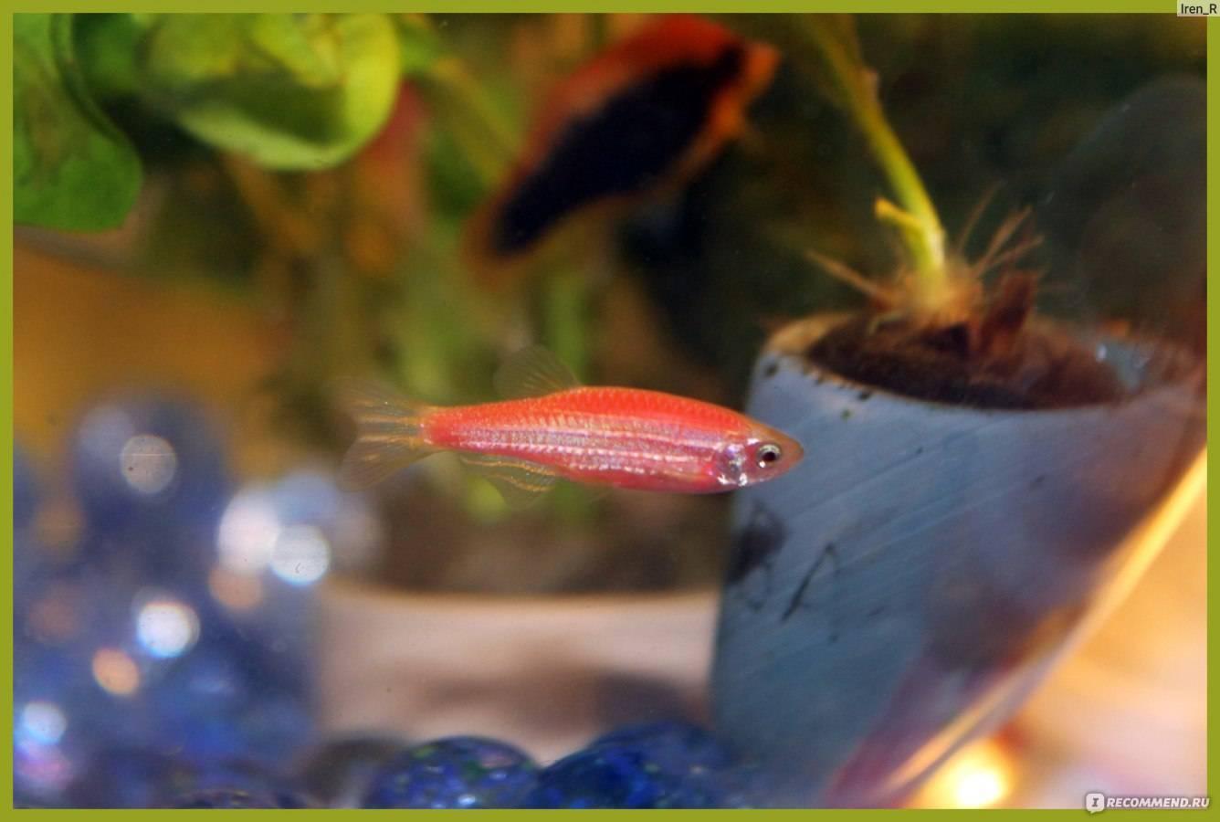 Размножение данио в аквариуме: нерест рыбки в домашних условиях для начинающих, уход за икрой, чем кормить мальков в первые дни и весь процесс от а до я