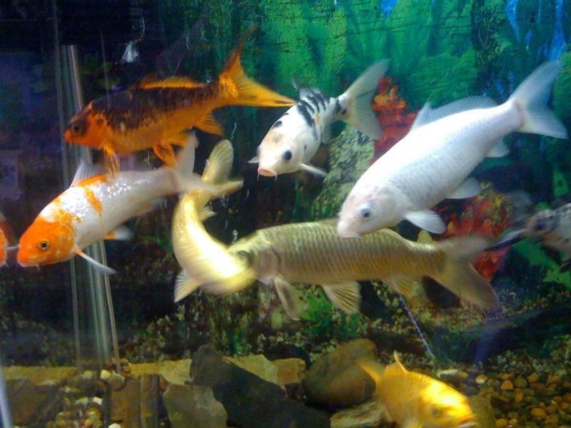 Карп кои: что за рыба, содержание в аквариуме