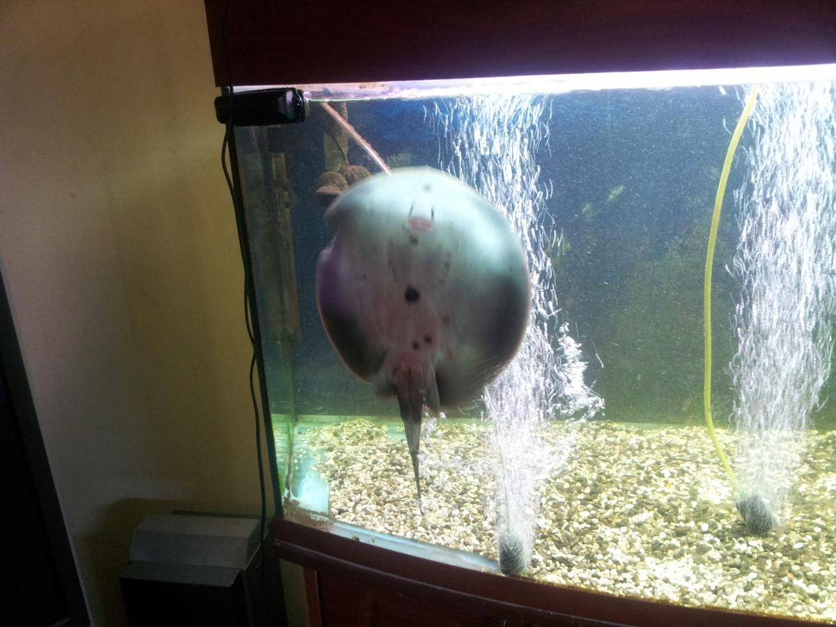 Скат хвостокол или морской кот: что за рыба описание с фото