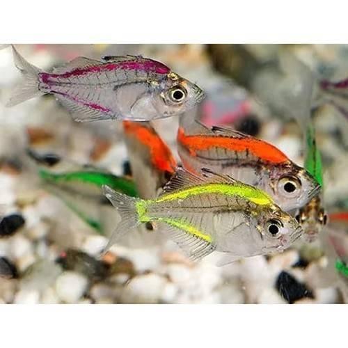 Аквариумная рыбка стеклянный окунь (19 фото): особенности содержания и ухода в аквариуме, совместимость прозрачного окуня с рыбами других пород