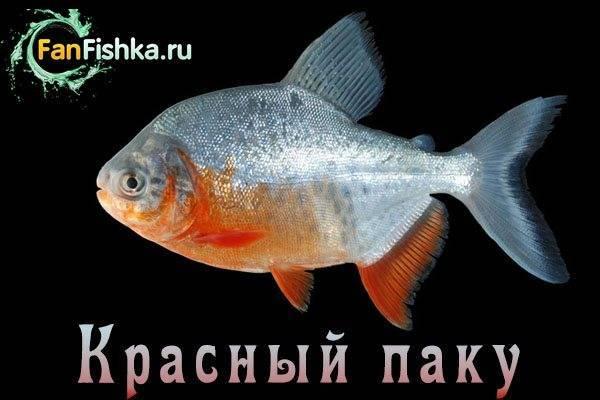 Рыбка оранда: особенности содержания и ухода