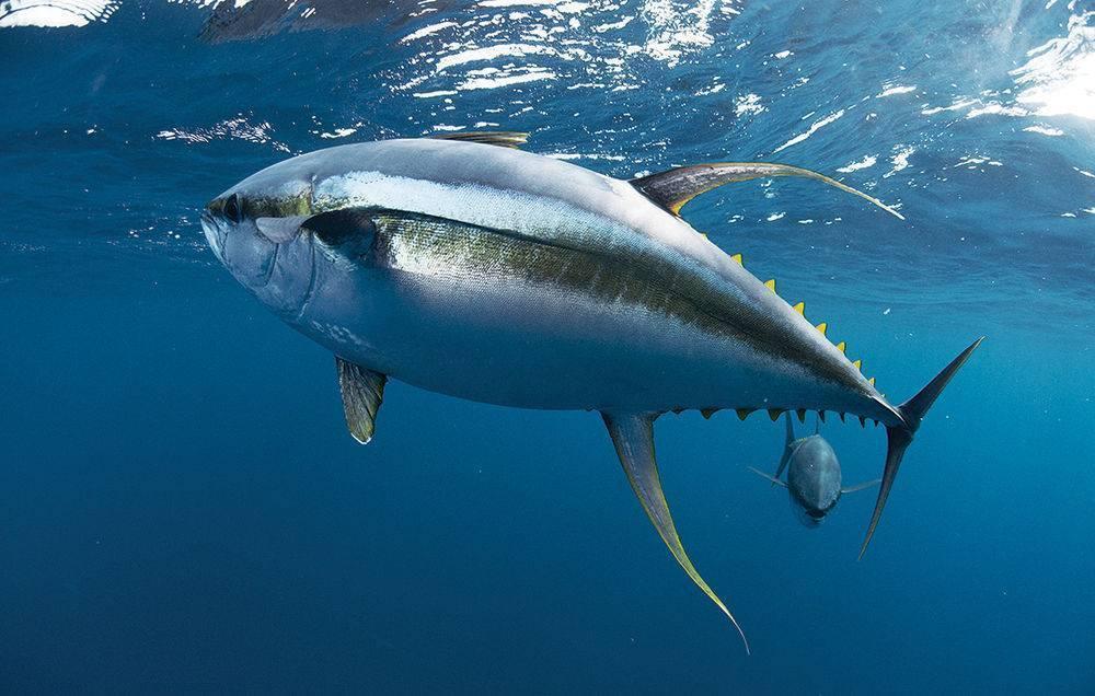 Тунец рыба морская или речная рыба. тунец: виды, свойства и способы приготовления | здоровье человека