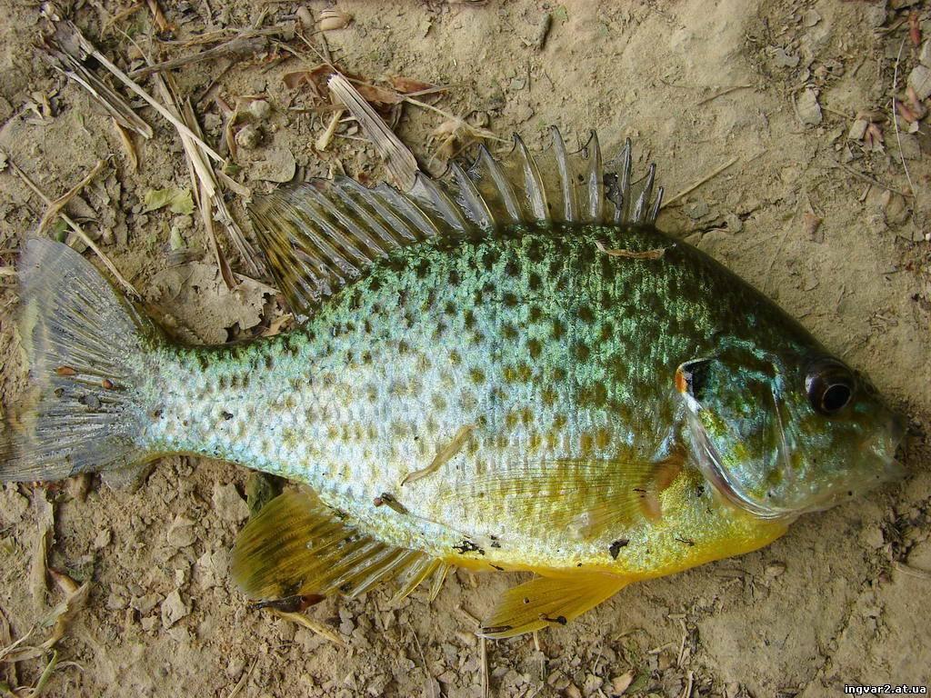 Солнечный окунь: содержание, фото-видео обзор - домашняя аквариумистика