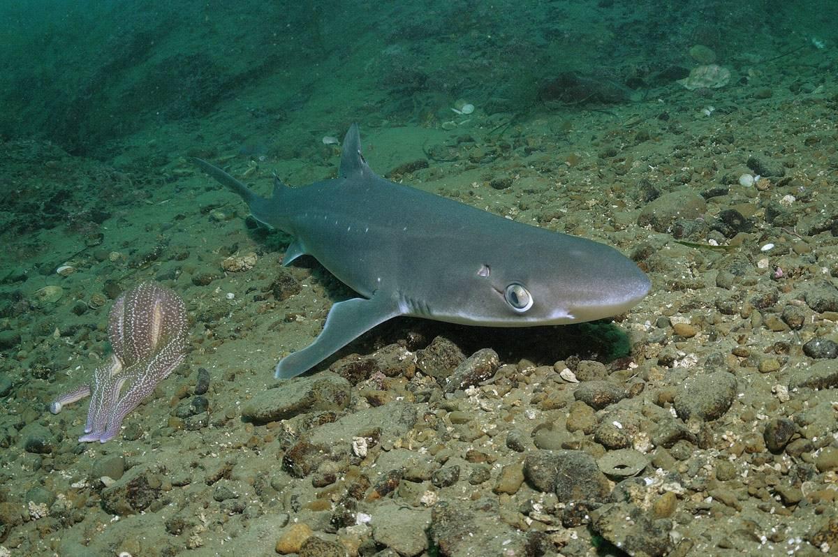 Катран черноморский: акула черного моря. повадки и строение