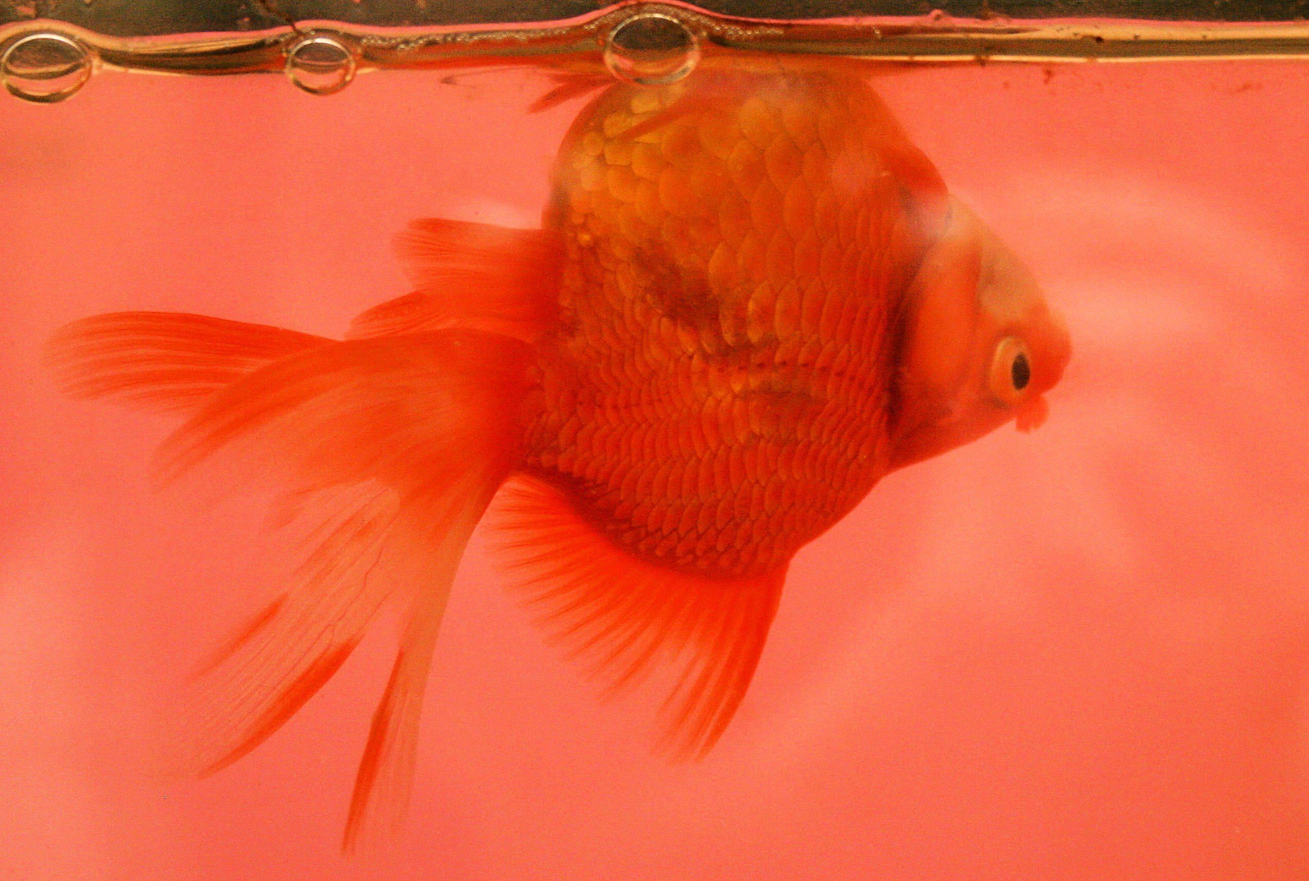 Золотая рыбка в аквариуме: 30 фото, уход и содержание, 21 вид