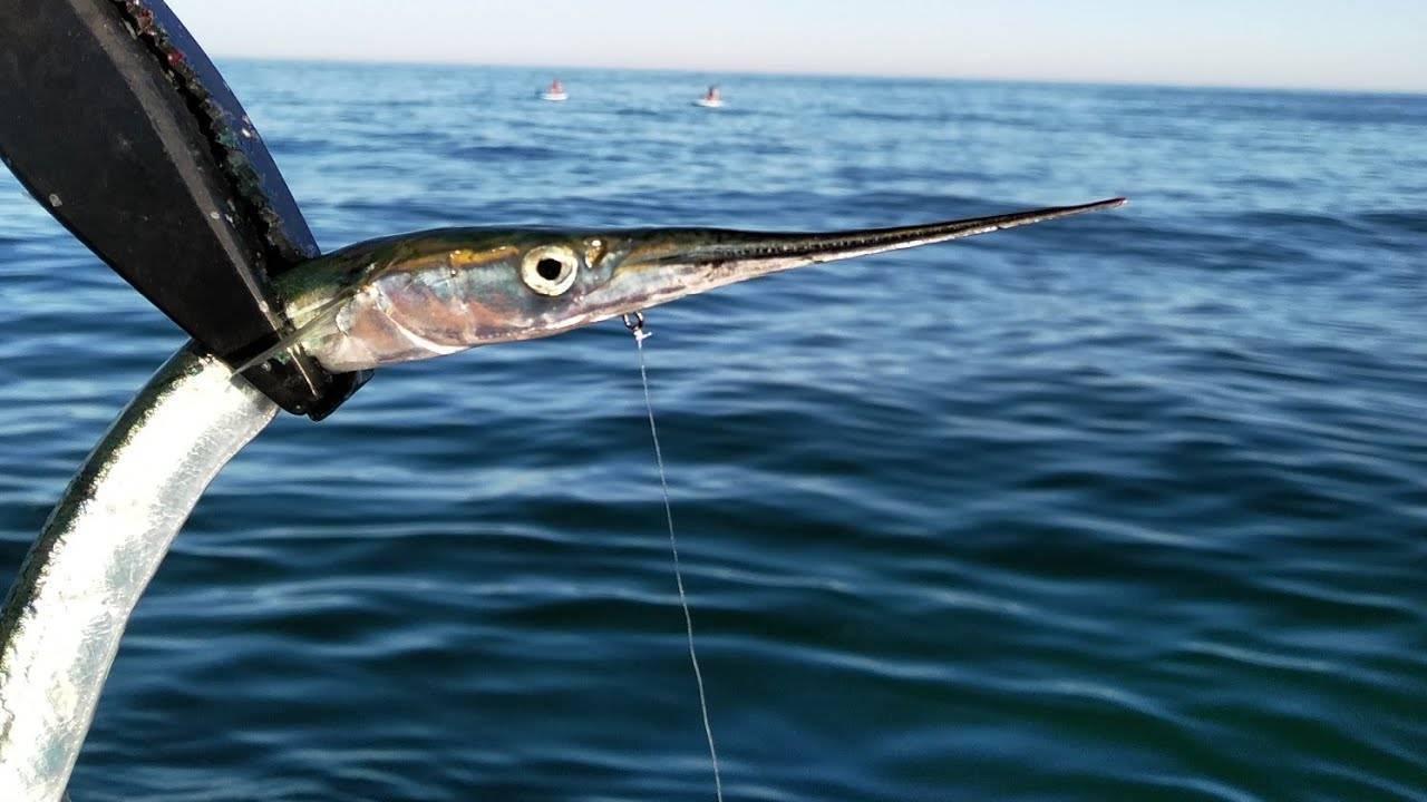 Как поймать рыбу сарган (garfish) - где и на что ловить эту рыбу в средиземном море | все о рыбалке в израиле
