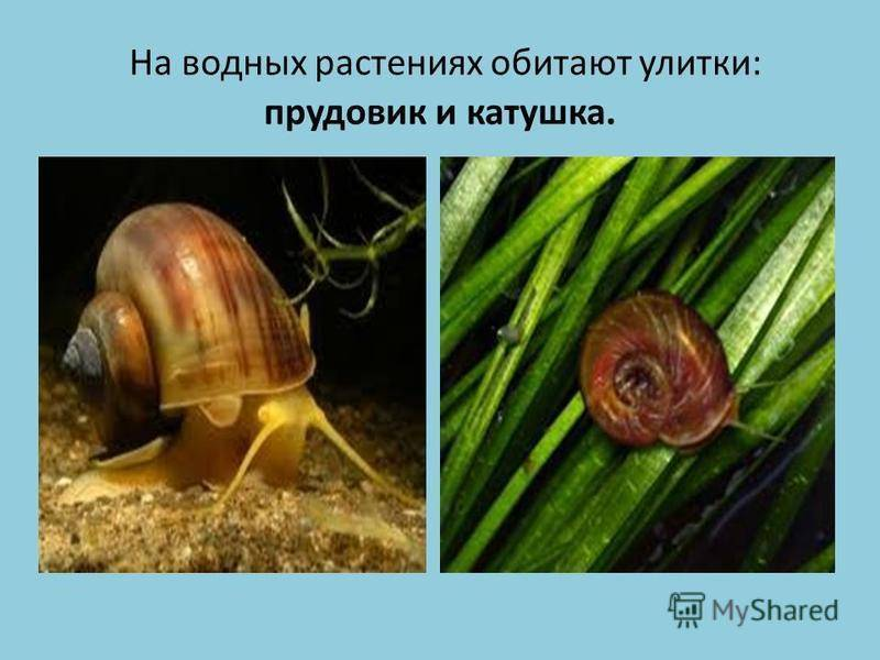 Очищаем аквариум от улиток-паразитов