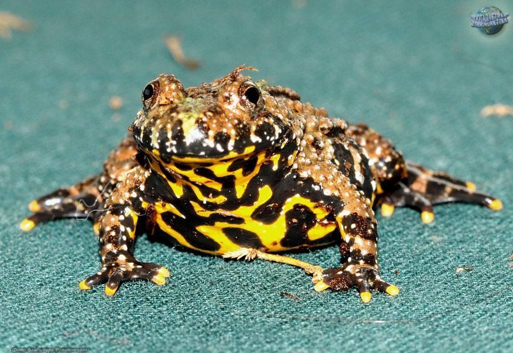 Краснобрюхая жерлянка: описание, места обитания, особенности лягушки