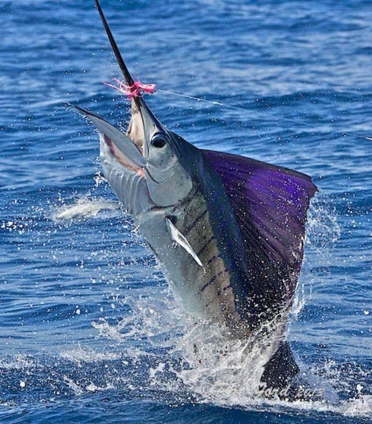 Какая рыба в океане плавает быстр. какая рыба в океане плавает быстрее всех. самая быстрая рыба в мире