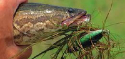 Ловля змееголова в апреле