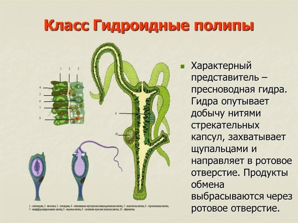 Гидра: системы органов, регенерация, способы размножения