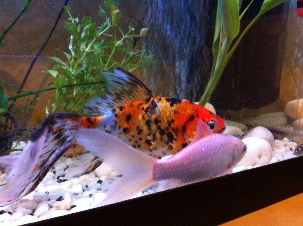 Совместимость золотых рыбок с представителями других пород