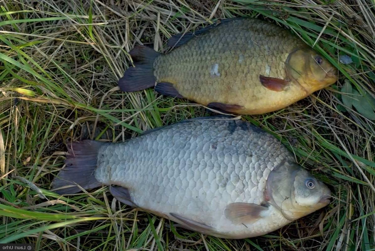 Рыба буффало — фото, описание жизненного цикла, места обитания, особенности ловли